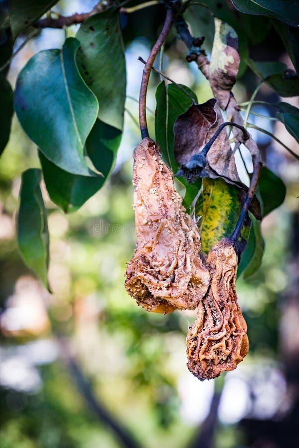 Peras putrefactas en un árbol fotos de archivo libres de regalías