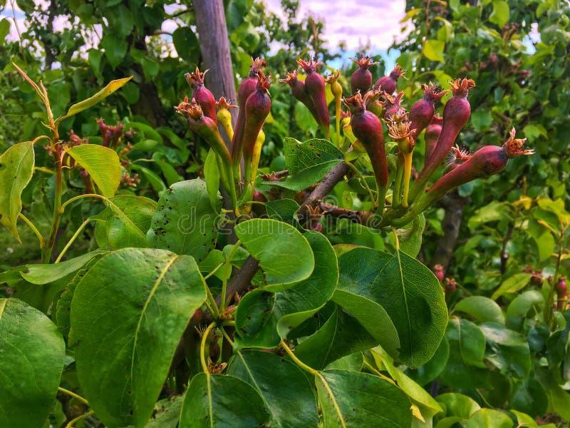 Peras que crecen en el árbol en un Richard en primavera imagenes de archivo