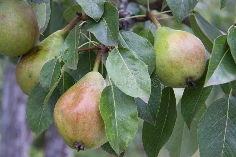 Peras que cuelgan en rama de árbol en un verano del jardín imagen de archivo