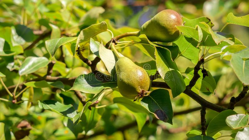 Peras verdes no todavía maduradas en la rama foto de archivo libre de regalías