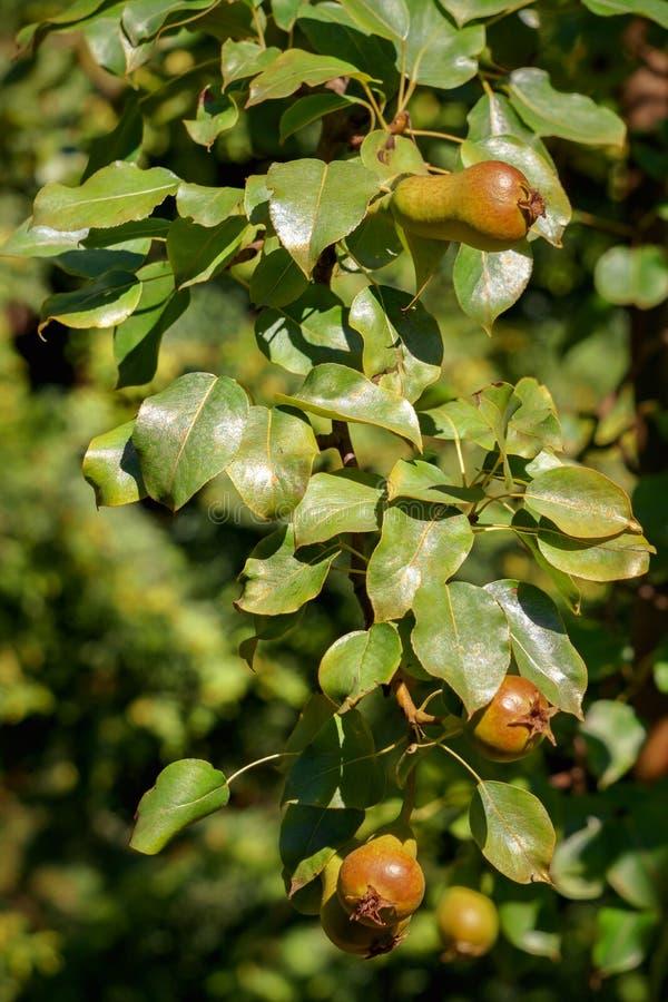 Peras verdes no todavía maduradas en la rama fotografía de archivo libre de regalías