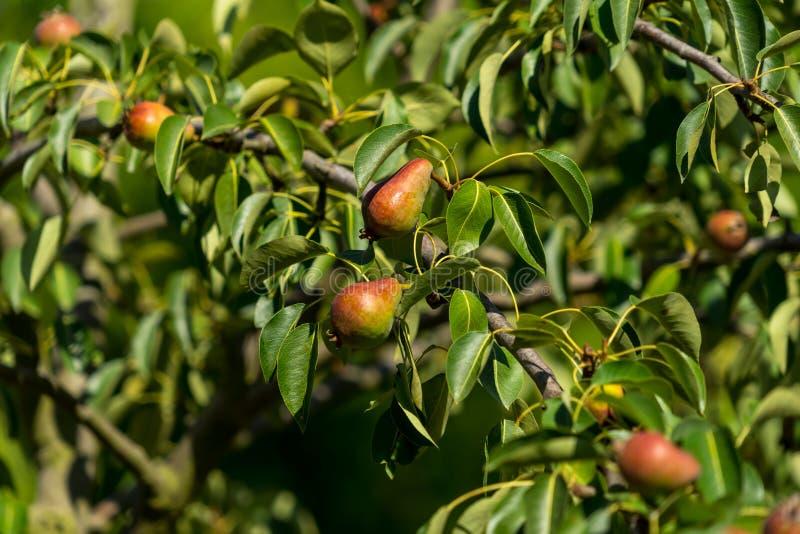 Peras verdes pequenas que penduram em um ramo imagens de stock