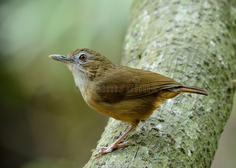 Perc brun d'oiseau du bavard d'Abbott beau (abbotti de malacocinda) images libres de droits