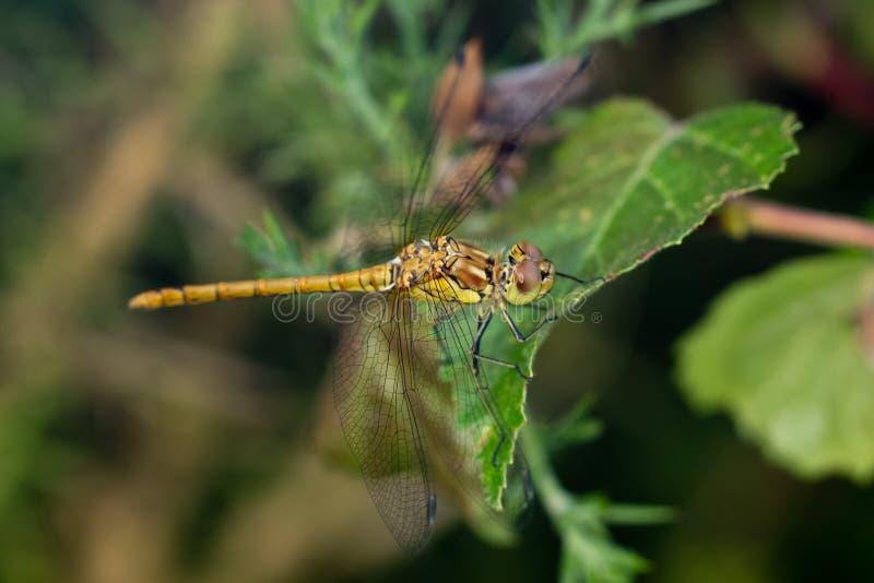 Perc común masculino no maduro de la libélula del Darter (striolatum de Sympetrum) imágenes de archivo libres de regalías