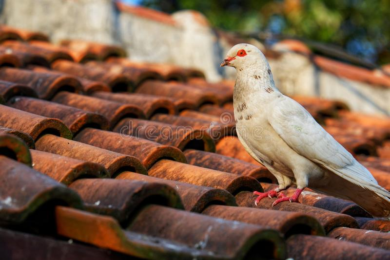 Perca blanca de la paloma en la teja de tejado foto de archivo