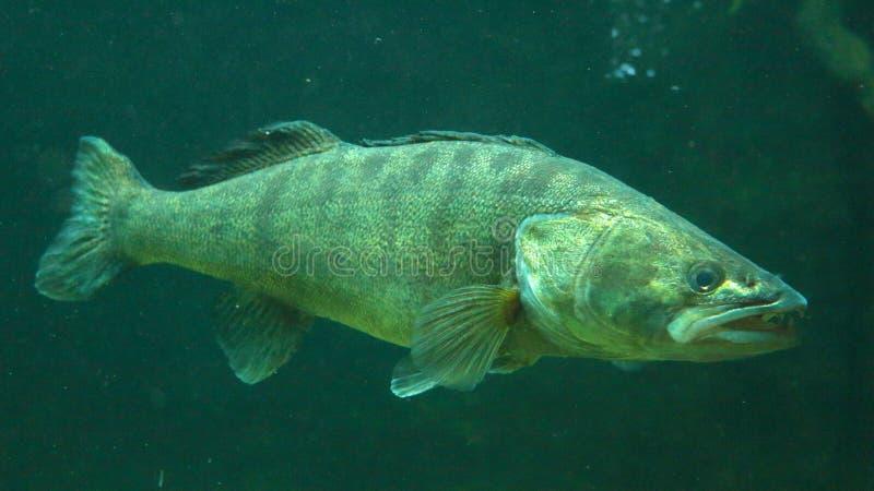 Perca de Pike subacuática imágenes de archivo libres de regalías