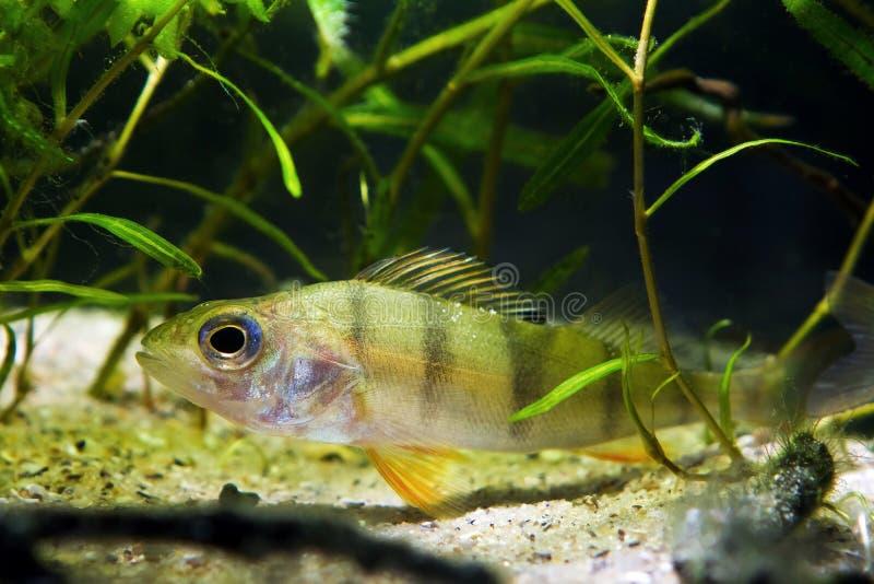 Perca europea, pescado despredador del coldwater, fluviatilis del Perca, ocultando en plantas en acuario moderado del biotopo de  foto de archivo