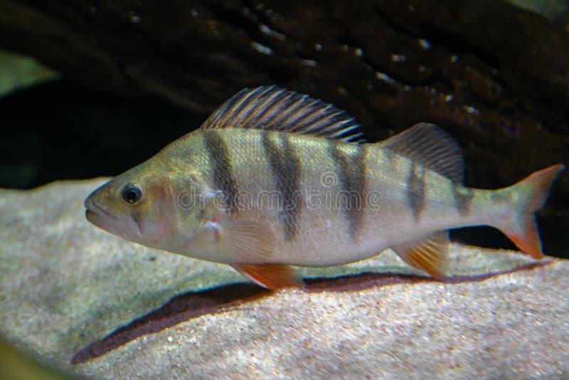 Perca fluviatilis Undervattensskott från mogen perch-fisk som vilar på flodbotten Fiske med sötvattensrovdjur arkivbilder