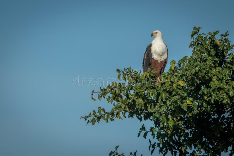 Percas africanas del águila de pescados en el árbol que mira abajo foto de archivo