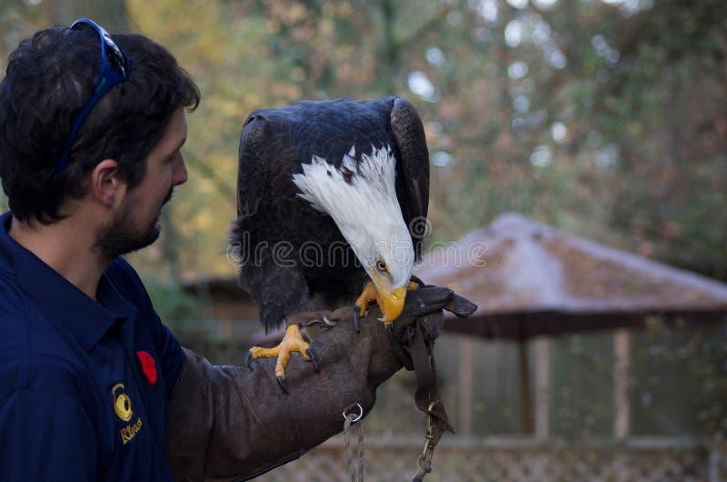 Percas entrenadas del águila calva en el guante del halconero, el picotear a mano imagenes de archivo