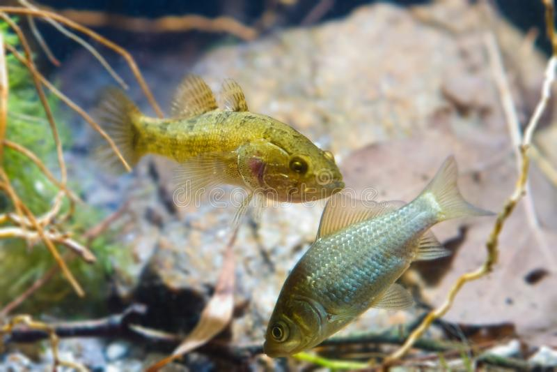 Perccottus glenii、中国睡眠者和鲫属鲫属、鲫鱼、淡水掠食性动物和牺牲者在群落生境水族馆 库存图片