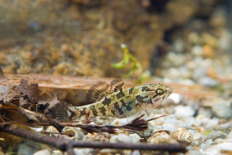 Perccottus glenii,中国睡眠者,在群落生境水族馆的少年淡水鱼 库存照片