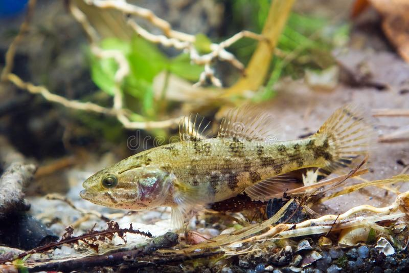 Perccottus glenii,中国睡眠者,在群落生境水族馆的少年淡水鱼 免版税库存图片