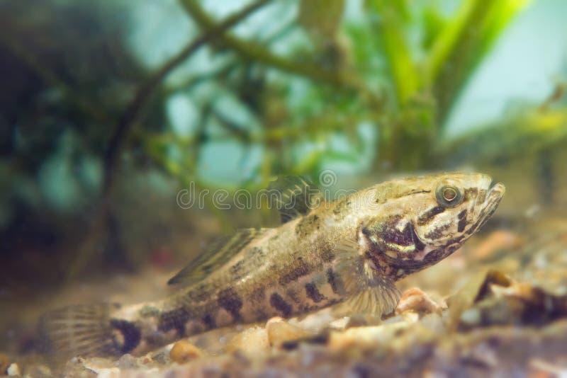 Perccottus glenii,中国睡眠者,在群落生境水族馆的淡水掠食性动物在坦克底部 图库摄影