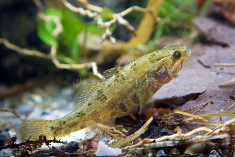 Perccottus glenii, kinesisk längsgående stödbjälke, barnslig sötvattensfisk i biotopeakvariet, closeup fotografering för bildbyråer