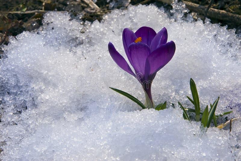 Perce-neige photographie stock libre de droits