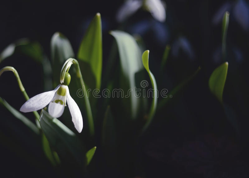 Perce-neige photos stock