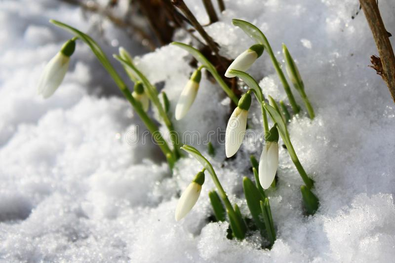 Perce-neige dans la neige photo stock