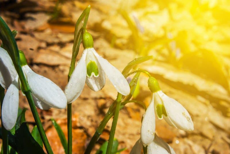 Perce-neige de blanc de plan rapproché photo libre de droits