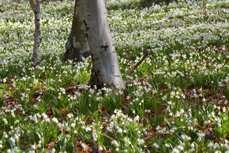 Perce-neige en fleur en premier ressort photographie stock