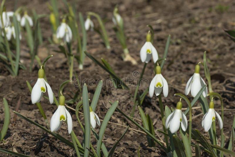 Perce-neige ou fleurs communes de nivalis de Galanthus de perce-neige photo libre de droits