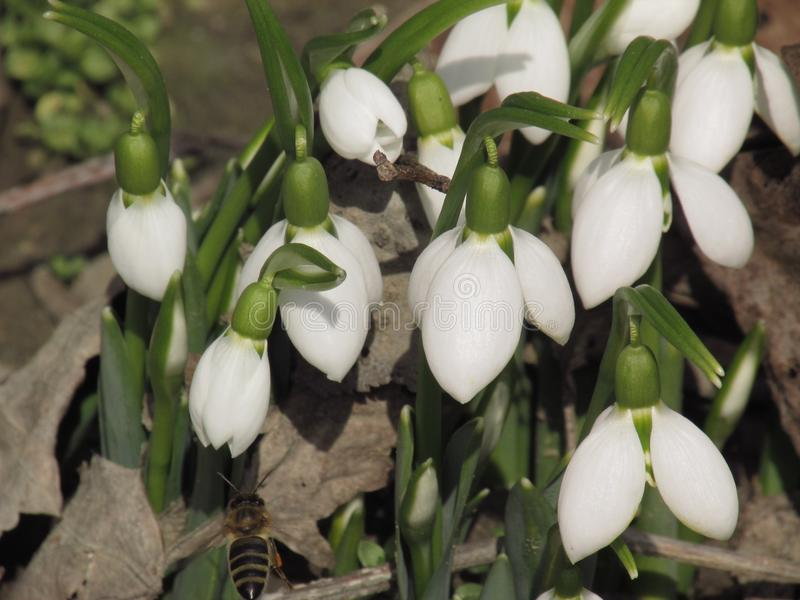 Perce-neige, ou Galanthus et abeille image stock
