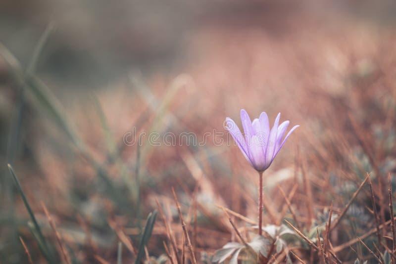 Perce-neige pourpre de fleur d'image de ressort naturel Perce-neige pourpre de fleurs tôt de ressort photos libres de droits