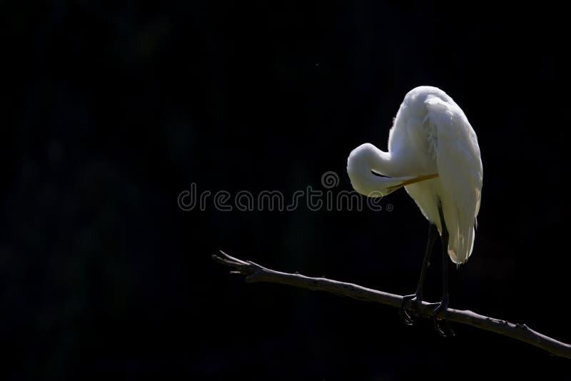perced和自夸在一个分支的伟大的白鹭在黑暗的背景前面的一个公园在加利福尼亚 免版税库存图片