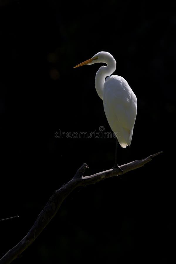 perced和自夸在一个分支的伟大的白鹭在黑暗的背景前面的一个公园在加利福尼亚 免版税库存照片