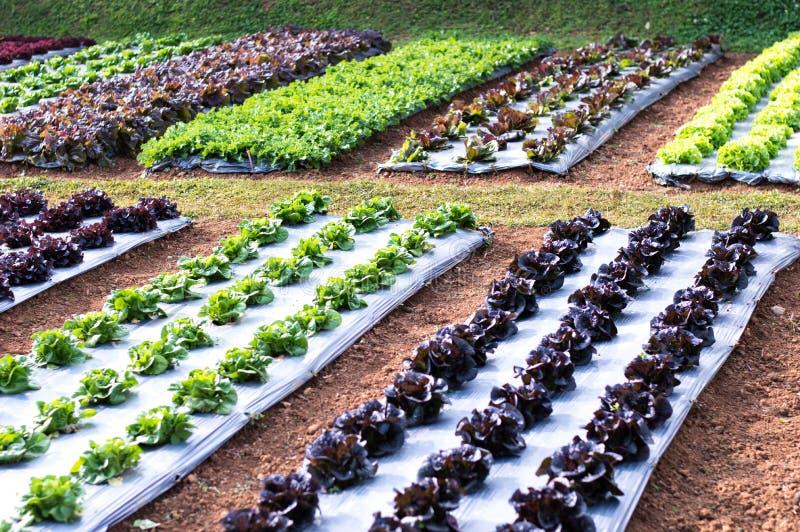 Percelen van groenten, groene salades en rode salades royalty-vrije stock foto