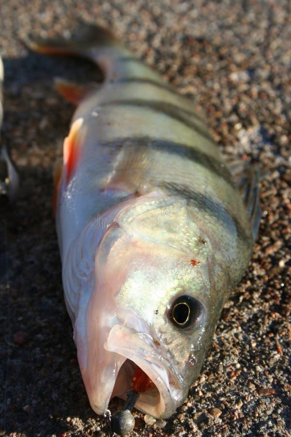Download Perch stock photo. Image of trofeum, bait, predator, fishing - 1453146