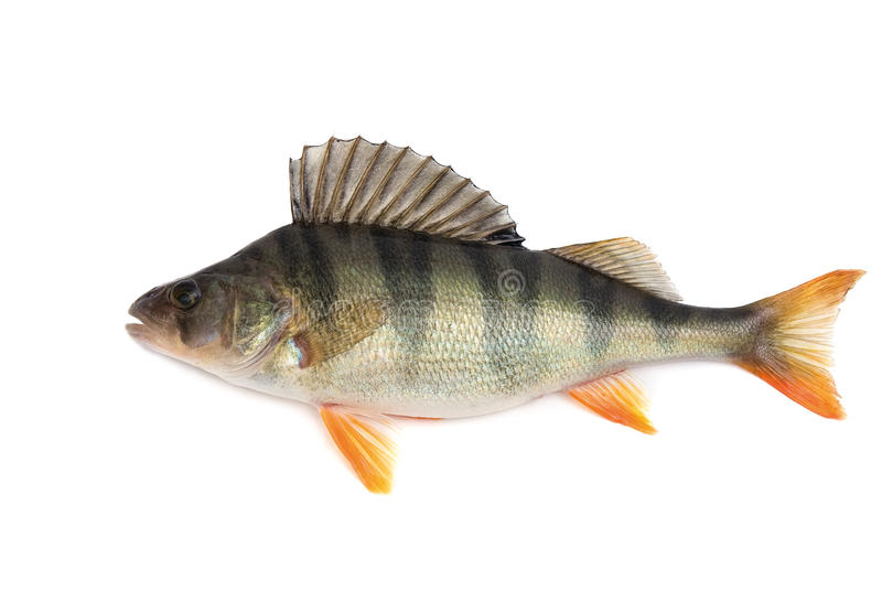 Perch. Fish, perch - isolated on white background
