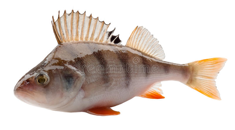 Perch. Isolated on white background. Clipping Path stock photos