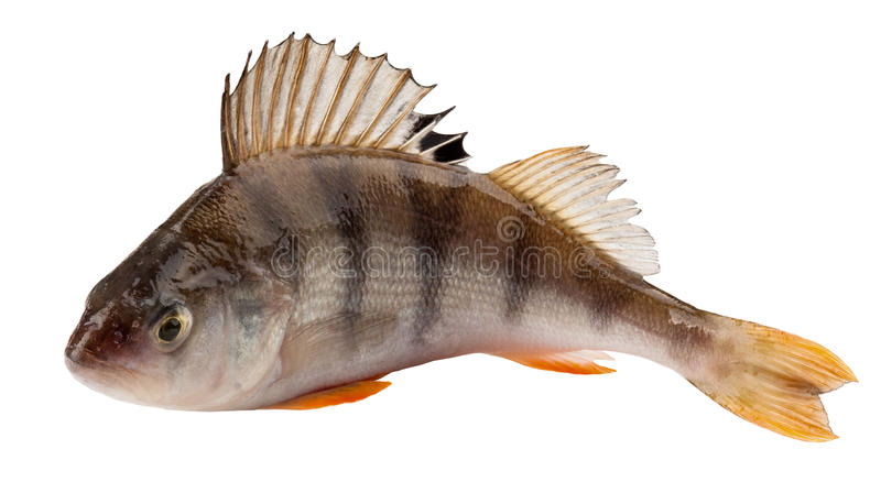 Perch. Isolated on white background. Clipping Path stock images