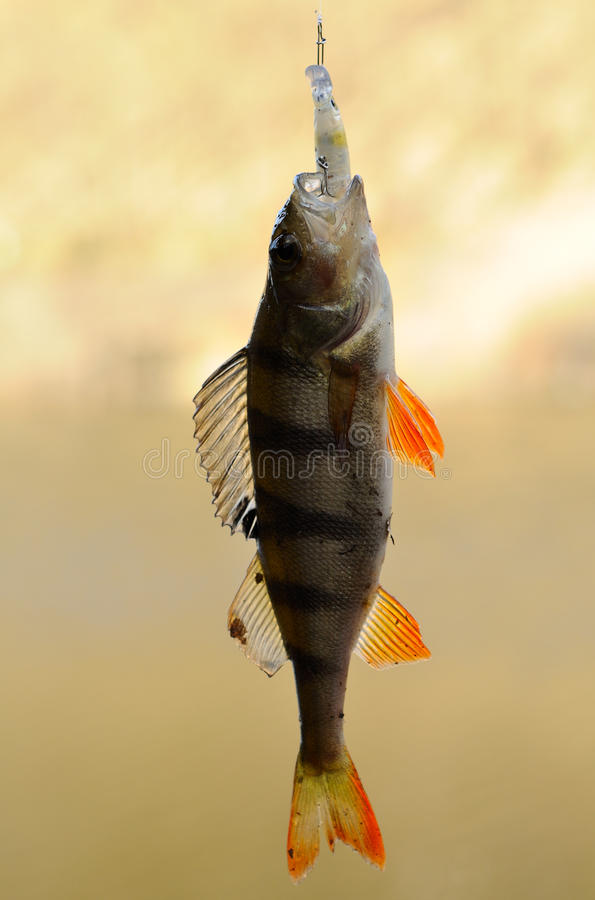 Perch with bait. Caught small perch with bait royalty free stock photos