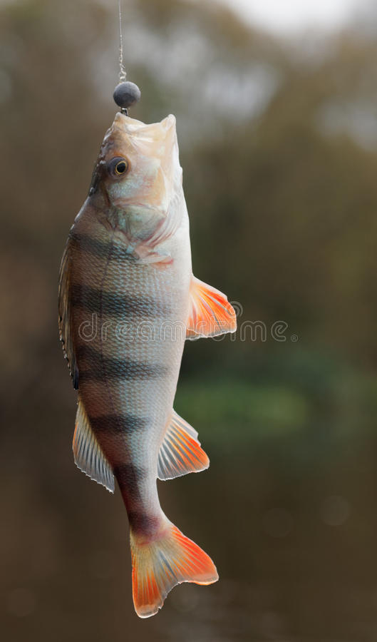 Perch caught on jig lure stock photography