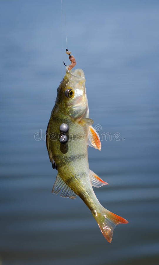 Perch fish catch on the hook. Bass river fish and natural background. Fishing activity. stock photos