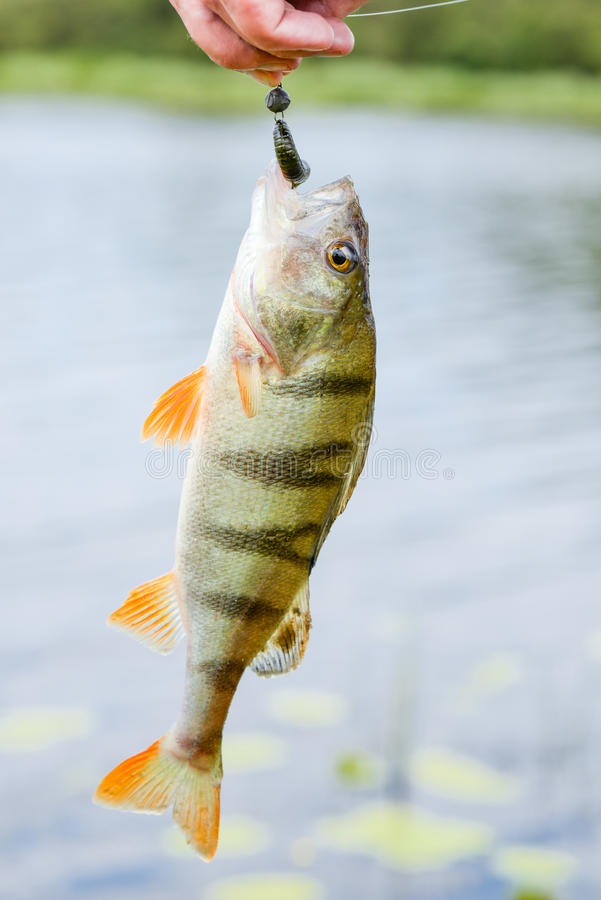 Perch fish catch on the hook. Bass river fish and natural background. Fishing activity. stock image