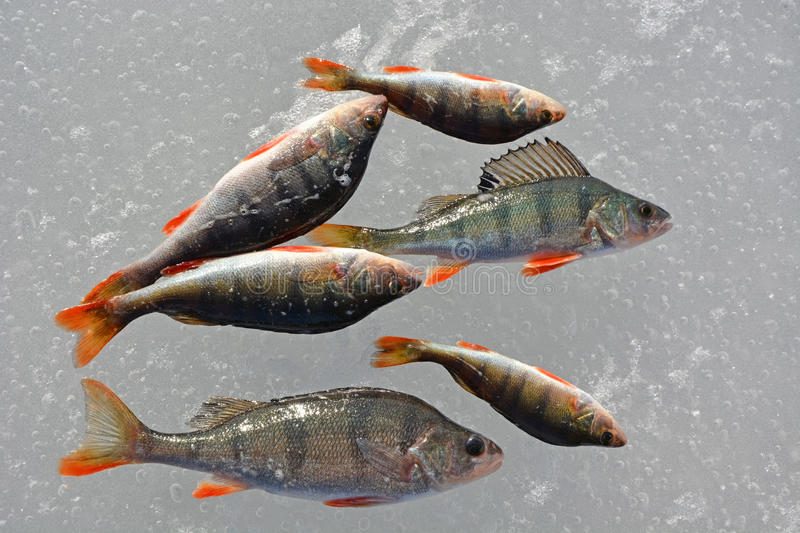 Perch fish on the ice. Winter fishing, hobby stock image