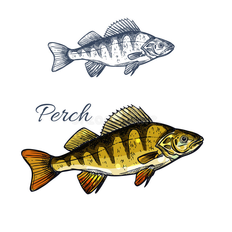 Perch fish isolated sketch of freshwater predator. Yellow perch or bass fish sketch. Freshwater perch predatory fish isolated icon for fishing sport symbol, fish vector illustration