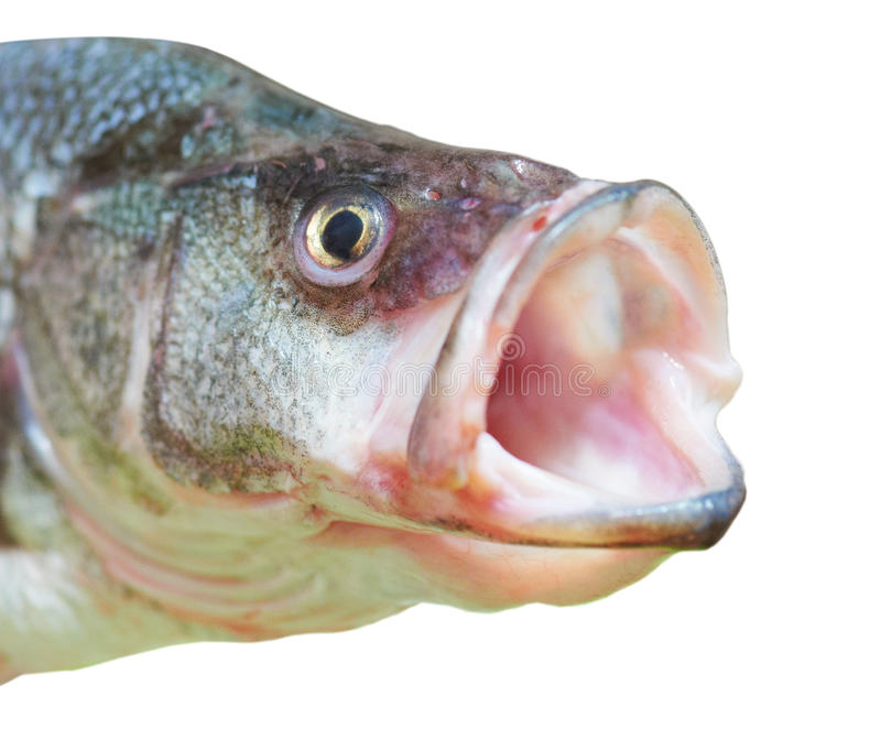 Perch fish with open mouth stock image