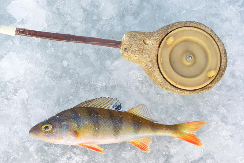 Perch fish with rod
