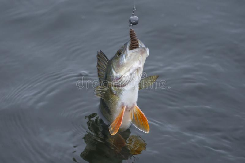 Perch fish trophy caught in water. Fishing background stock images