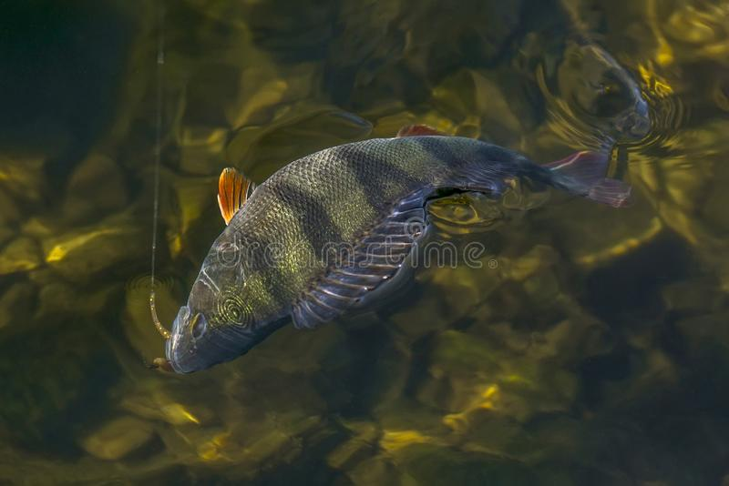 Perch fish trophy in water. Fishing background stock photos