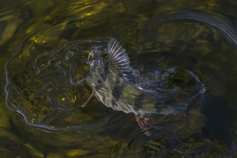 Perch fish trophy in water. Fishing background royalty free stock image