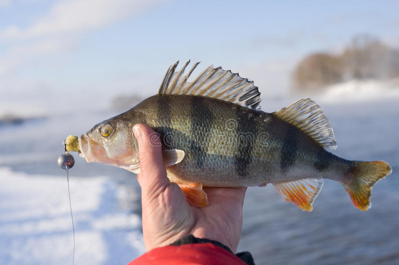 Perch in fisherman's hand royalty free stock images