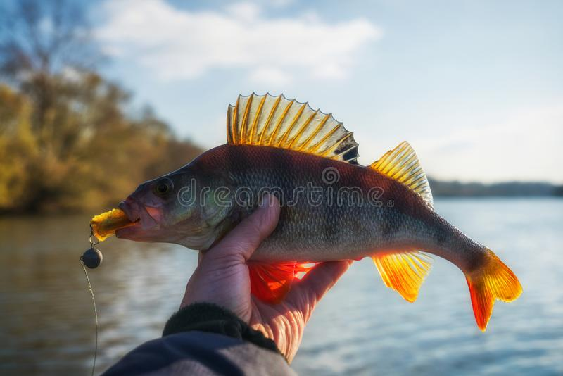 Perch in fisherman`s hand, toned stock photography