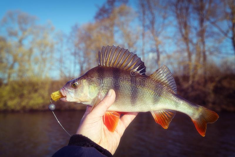 Perch in fisherman`s hand, autumn, film toned, grainy royalty free stock photo