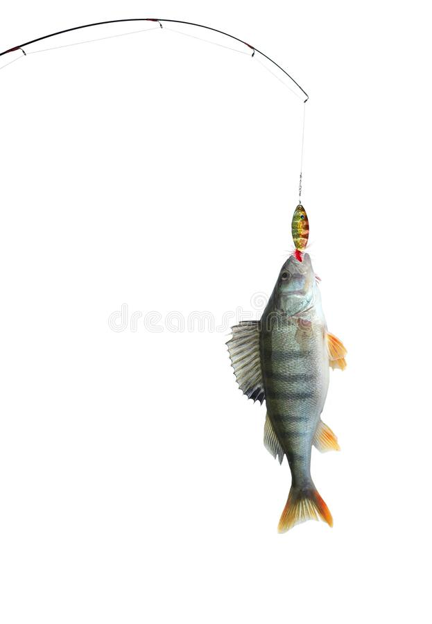 Perch on fishing-rod stock images