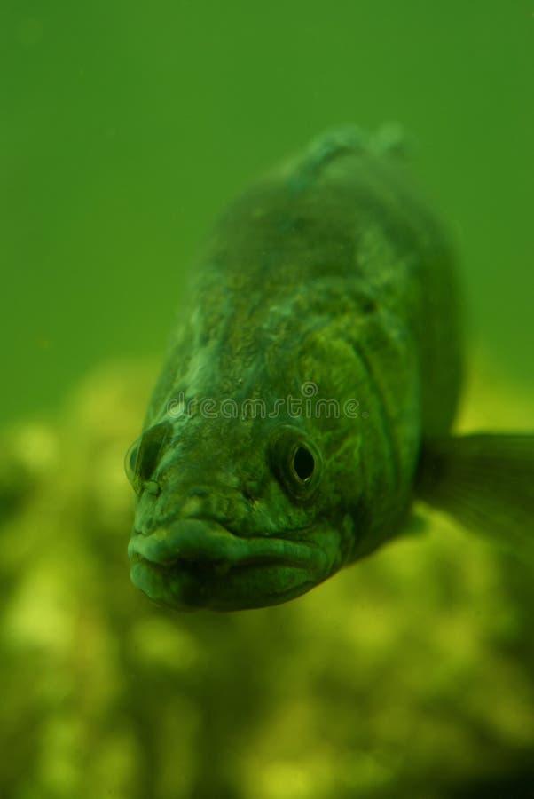 Perch underwater